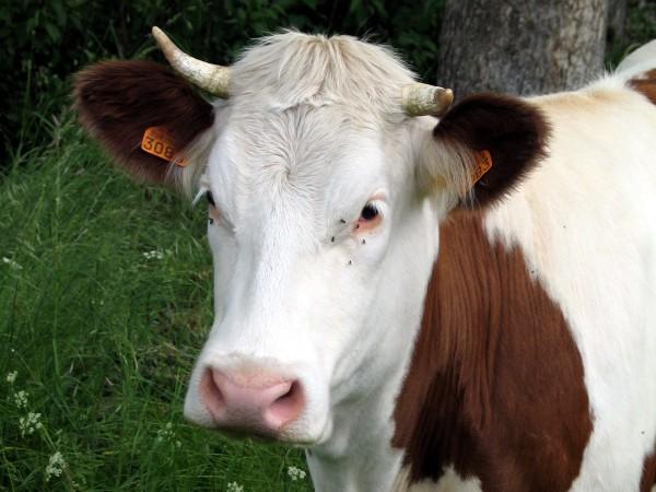 Drole d 39 echange centerblog - Photo de vache drole ...